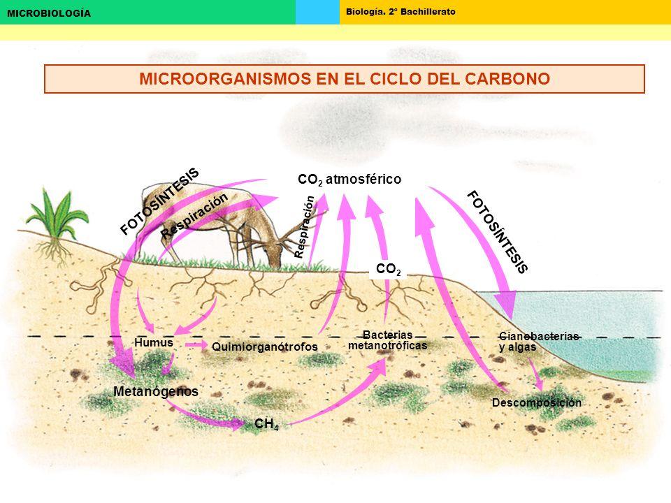 MICROORGANISMOS EN EL CICLO DEL CARBONO Bacterias metanotróficas