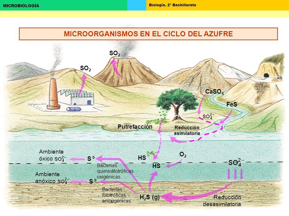 MICROORGANISMOS EN EL CICLO DEL AZUFRE Reducción asimilatoria
