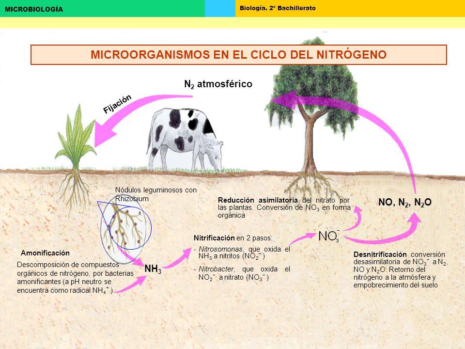 MICROORGANISMOS EN EL CICLO DEL NITRÓGENO