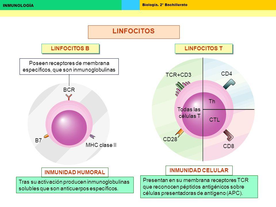 Poseen receptores de membrana específicos, que son inmunoglobulinas