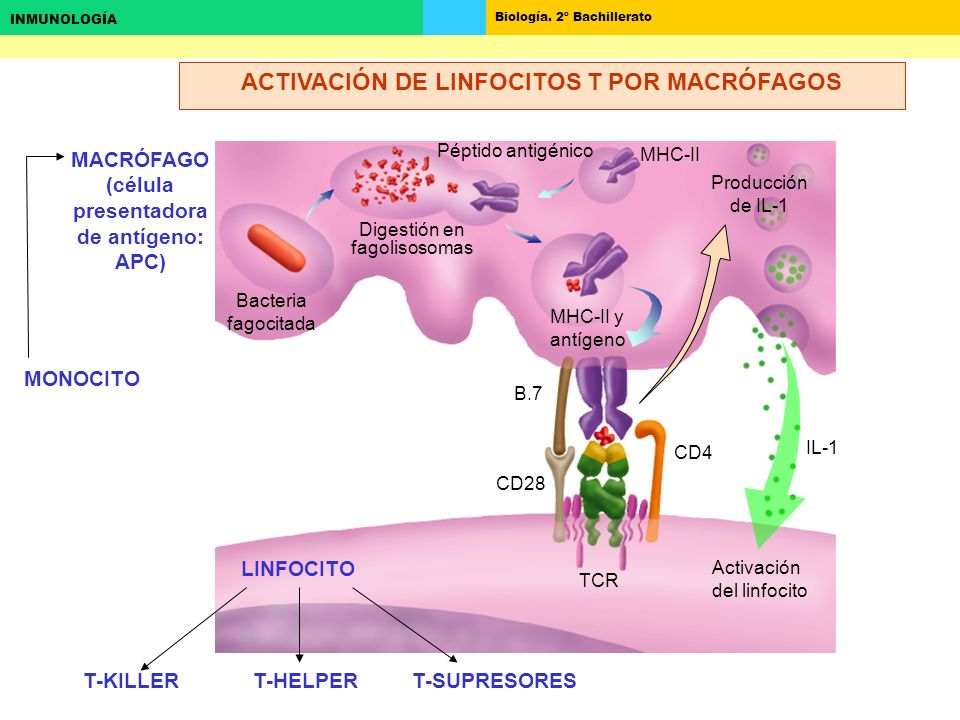 ACTIVACIÓN DE LINFOCITOS T POR MACRÓFAGOS