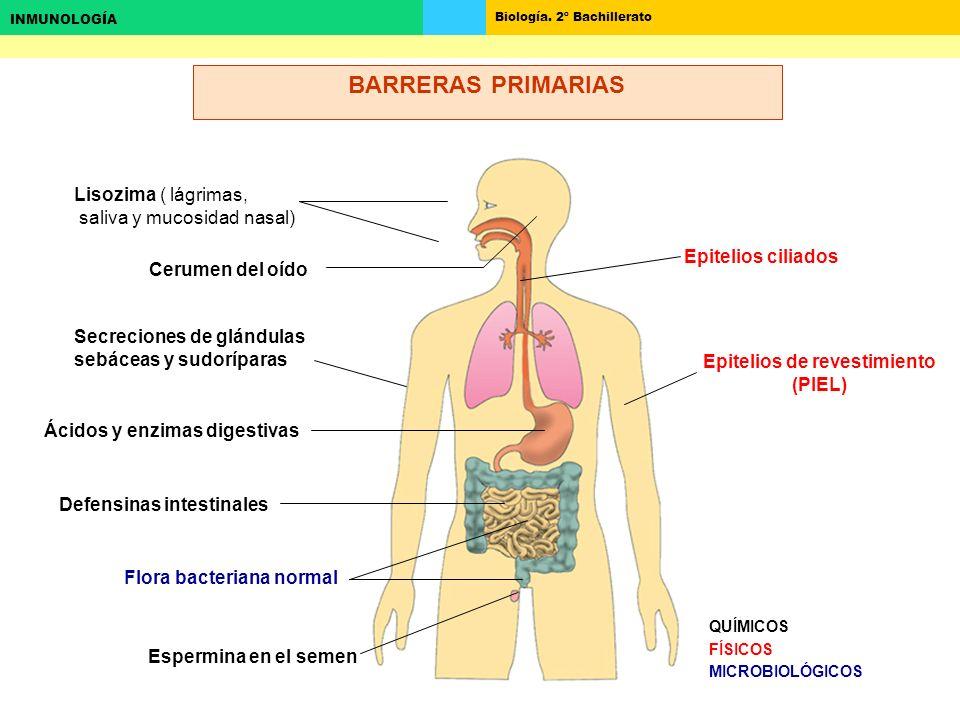 BARRERAS PRIMARIAS Lisozima ( lágrimas, saliva y mucosidad nasal)