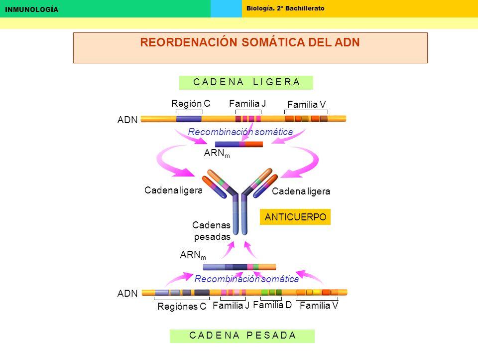 REORDENACIÓN SOMÁTICA DEL ADN