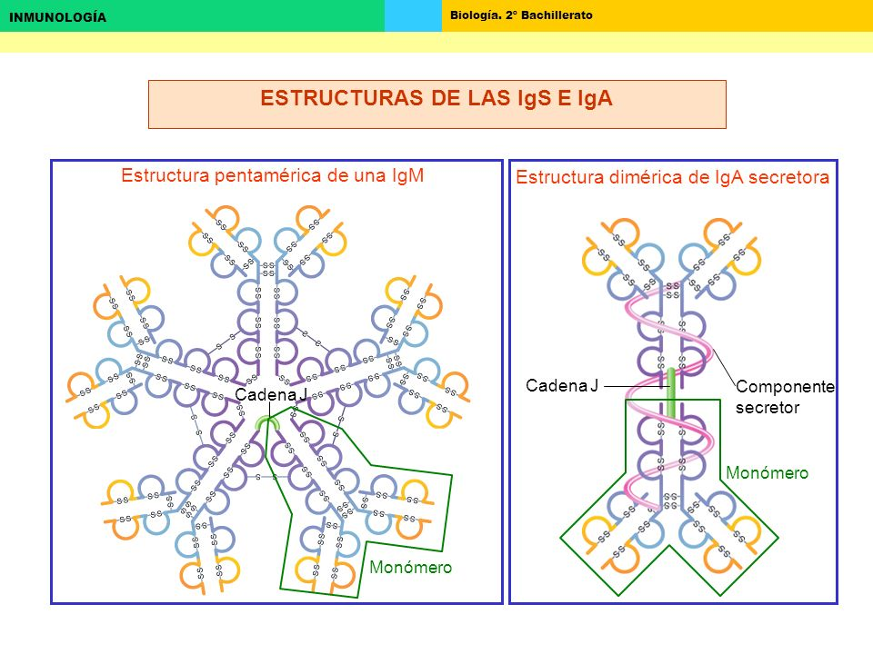 ESTRUCTURAS DE LAS IgS E IgA