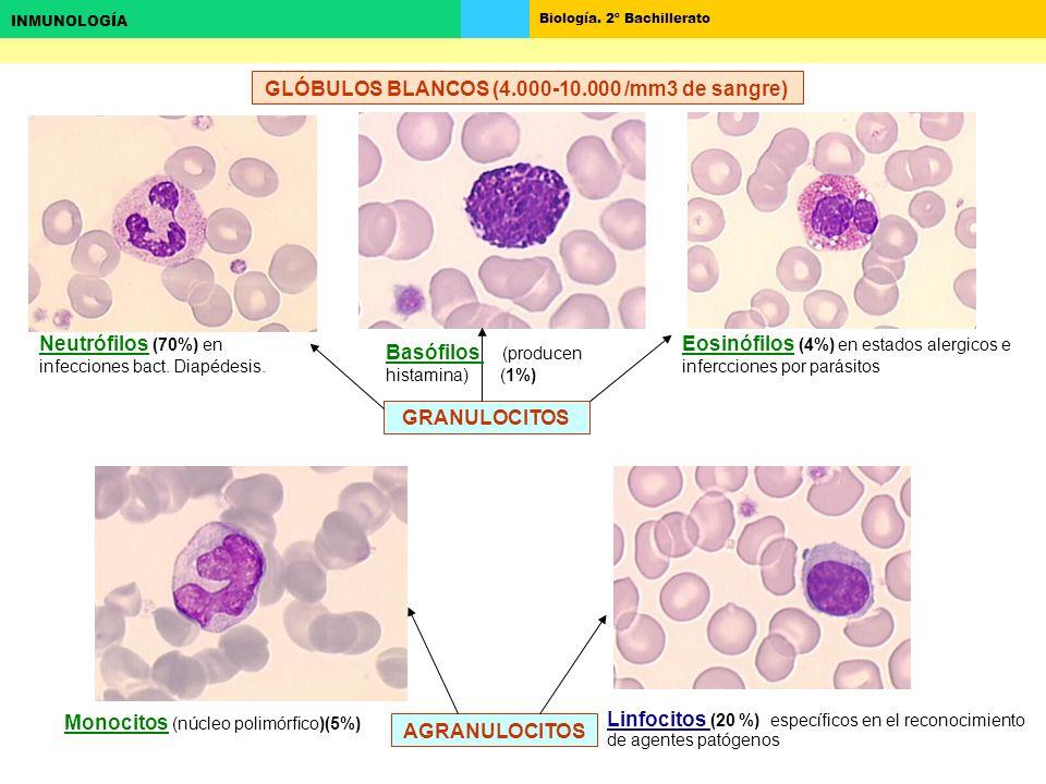 GLÓBULOS BLANCOS (4.000-10.000 /mm3 de sangre)