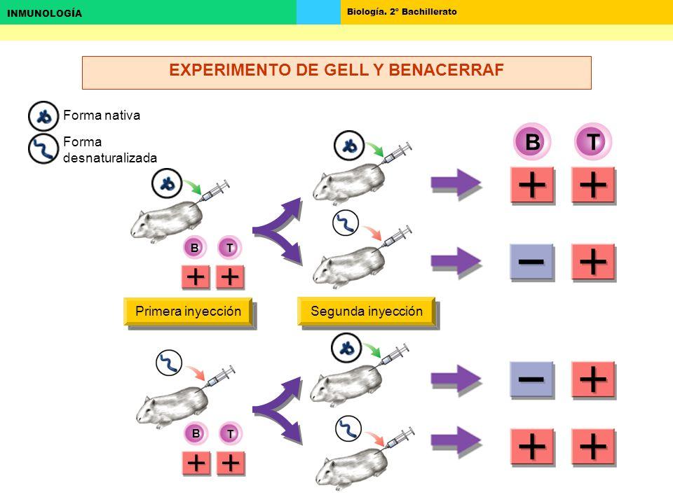 EXPERIMENTO DE GELL Y BENACERRAF