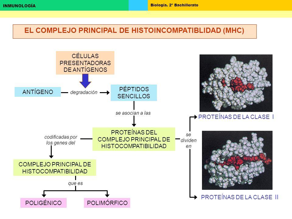 EL COMPLEJO PRINCIPAL DE HISTOINCOMPATIBLIDAD (MHC)