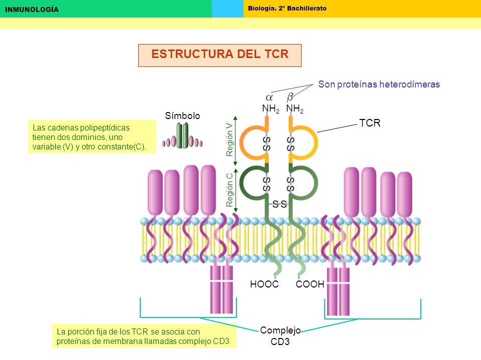 ESTRUCTURA DEL TCR a b TCR Son proteínas heterodímeras NH2 Símbolo