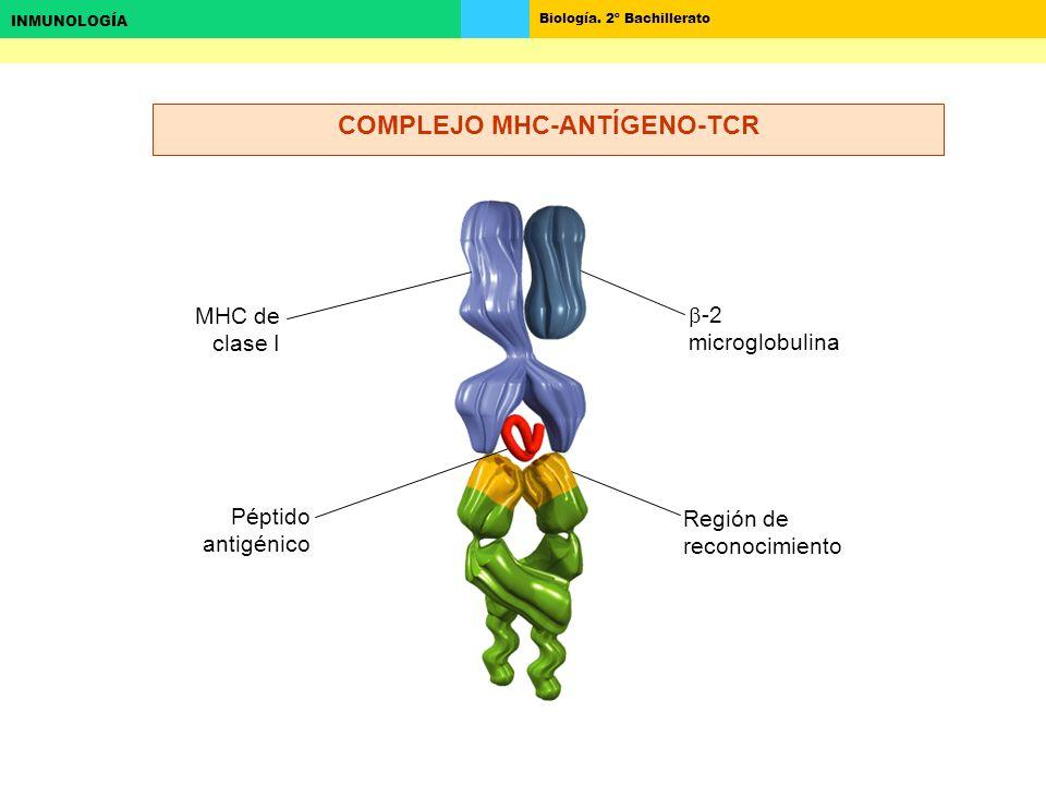 COMPLEJO MHC-ANTÍGENO-TCR