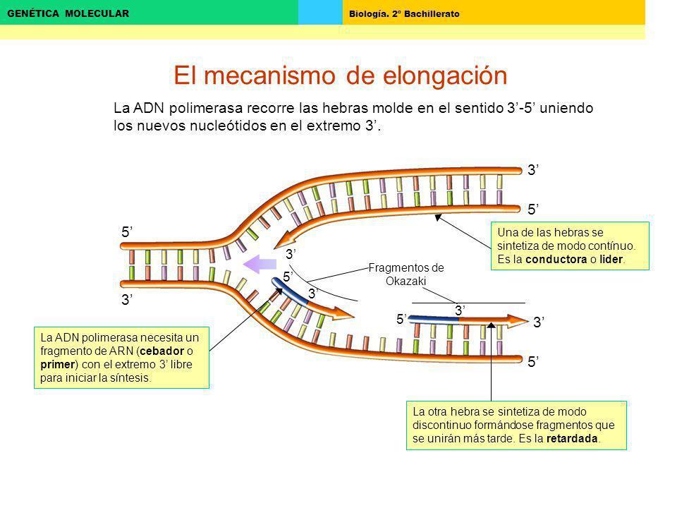 El mecanismo de elongación