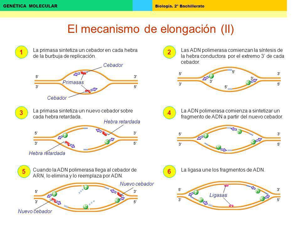 El mecanismo de elongación (II)