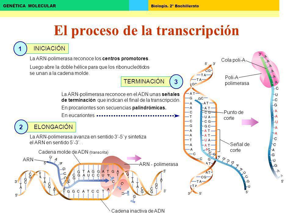 El proceso de la transcripción