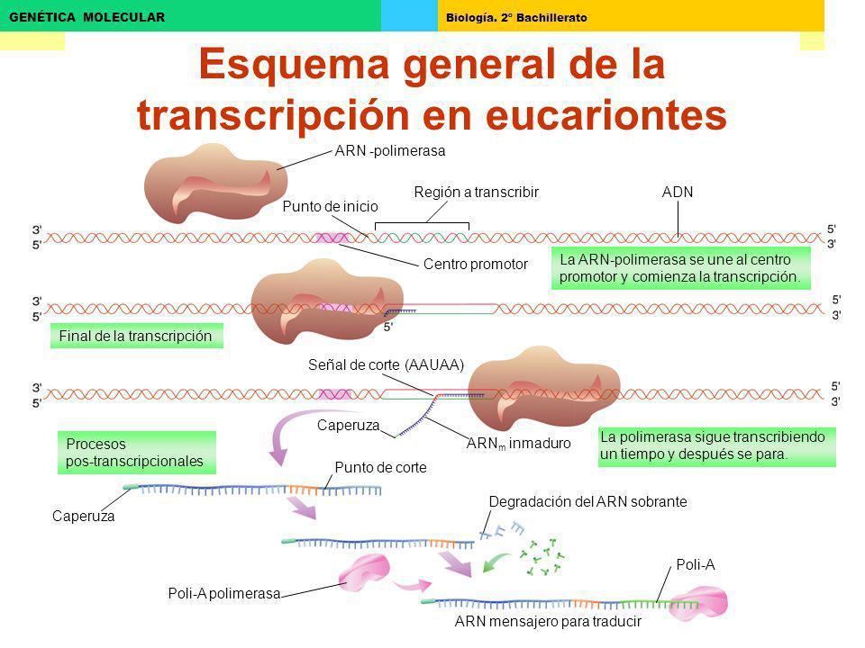 Esquema general de la transcripción en eucariontes