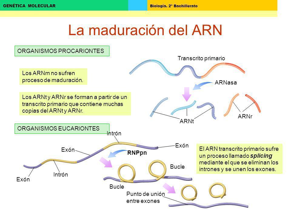 La maduración del ARN ORGANISMOS PROCARIONTES Transcrito primario