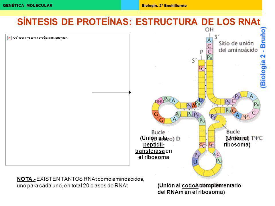 SÍNTESIS DE PROTEÍNAS: ESTRUCTURA DE LOS RNAt
