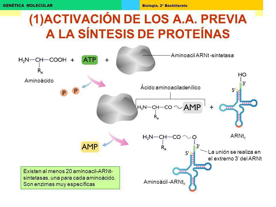 (1)ACTIVACIÓN DE LOS A.A. PREVIA A LA SÍNTESIS DE PROTEÍNAS