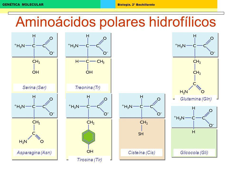 Aminoácidos polares hidrofílicos