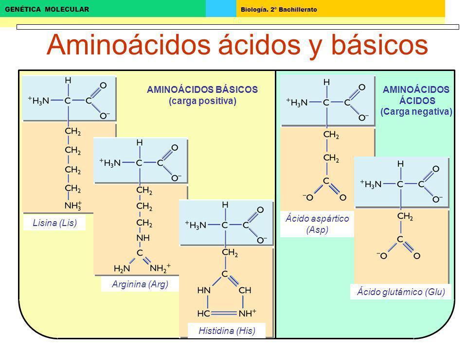 Aminoácidos ácidos y básicos