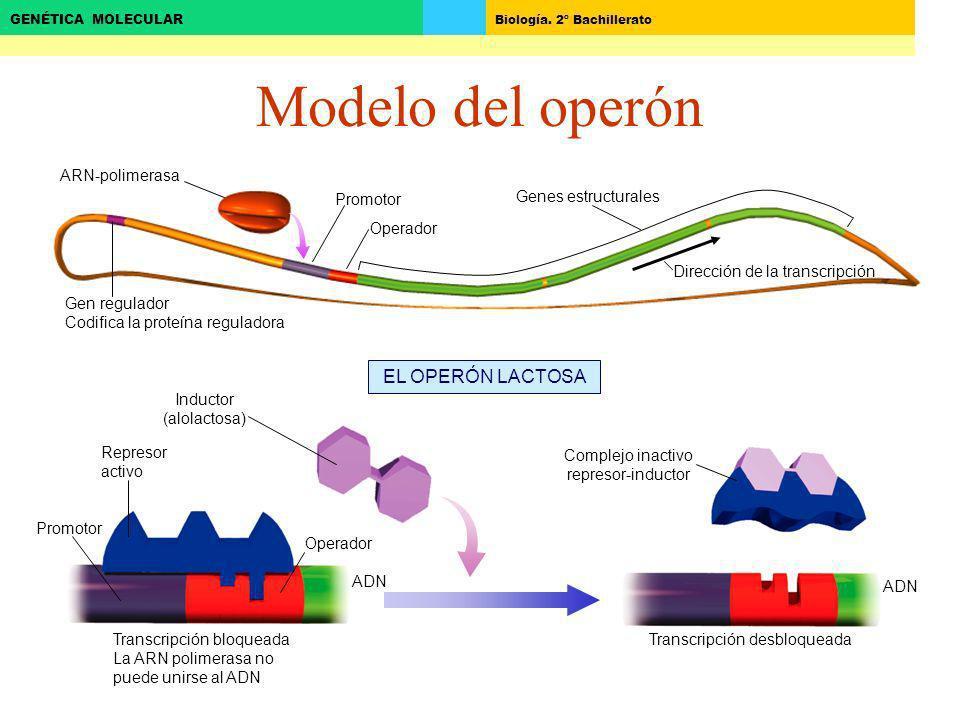 Modelo del operón EL OPERÓN LACTOSA ARN-polimerasa Promotor