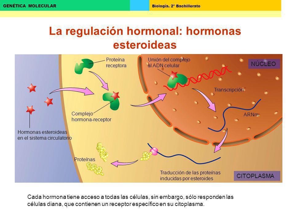 La regulación hormonal: hormonas esteroideas