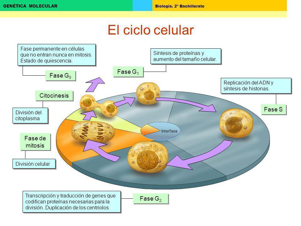 El ciclo celular Fase G1 Fase G0 Citocinesis Fase S Fase de mitosis