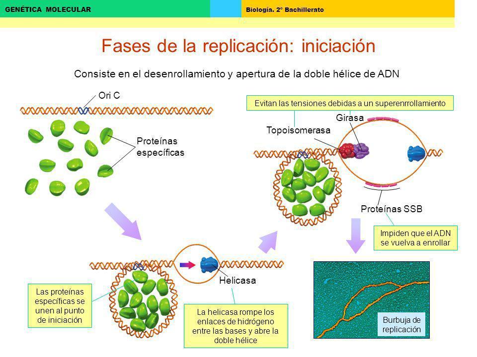 Fases de la replicación: iniciación