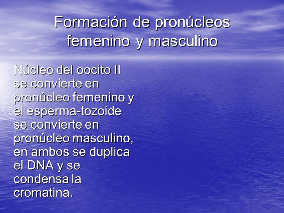 Formación de pronúcleos femenino y masculino