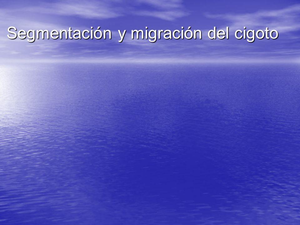 Segmentación y migración del cigoto