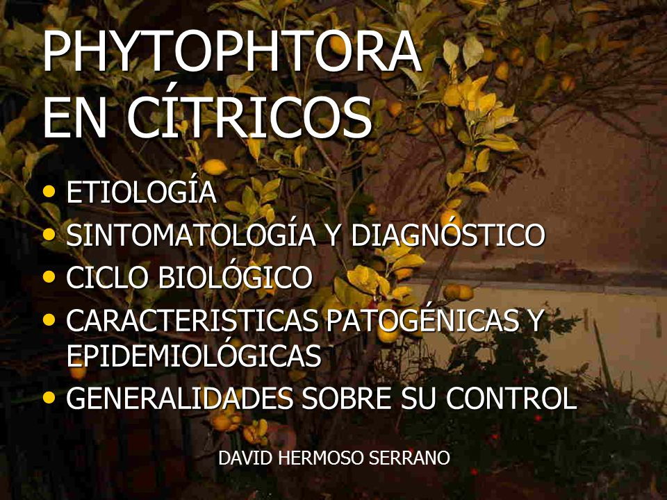 PHYTOPHTORA EN CÍTRICOS - ppt video online descargar