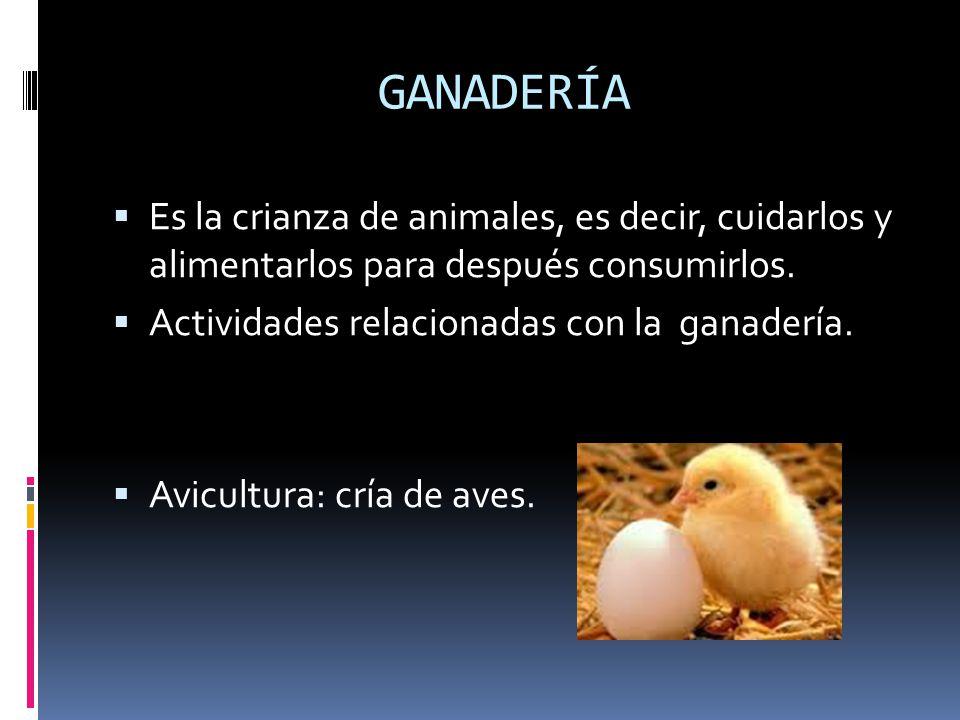 GANADERÍA Es la crianza de animales, es decir, cuidarlos y alimentarlos para después consumirlos. Actividades relacionadas con la ganadería.
