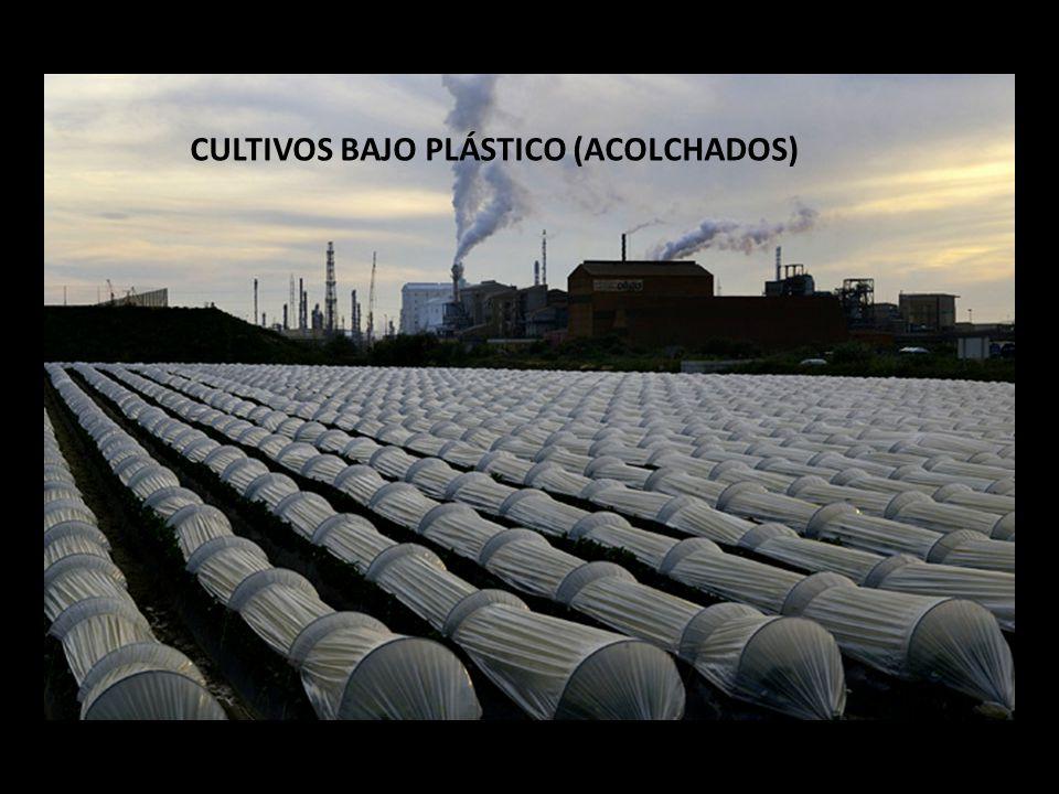 CULTIVOS BAJO PLÁSTICO (ACOLCHADOS)