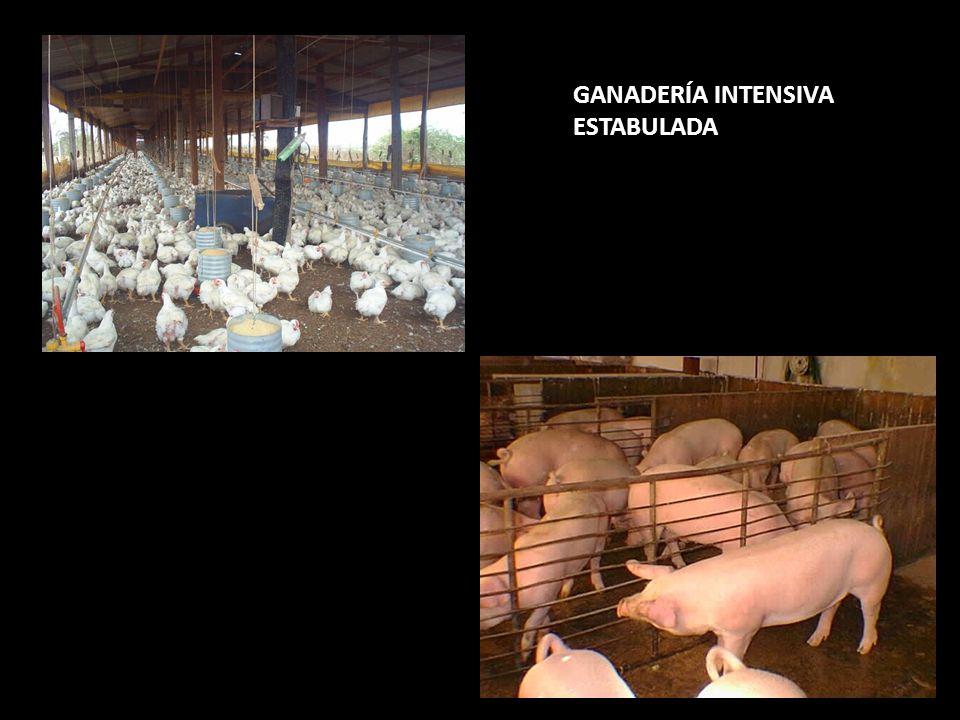 GANADERÍA INTENSIVA ESTABULADA