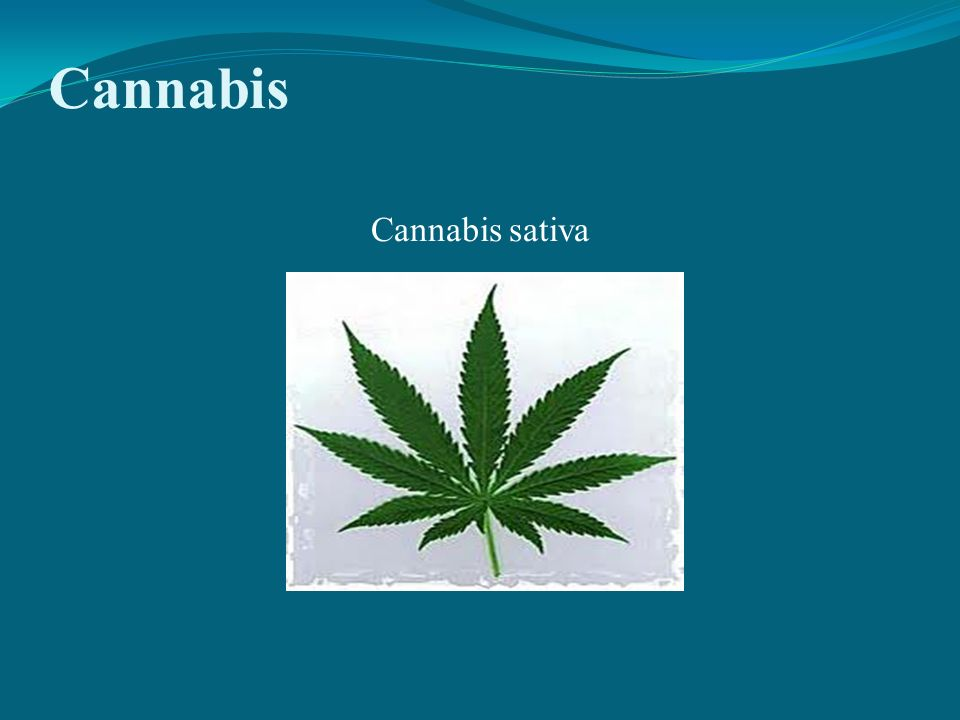 Cannabis Cannabis sativa