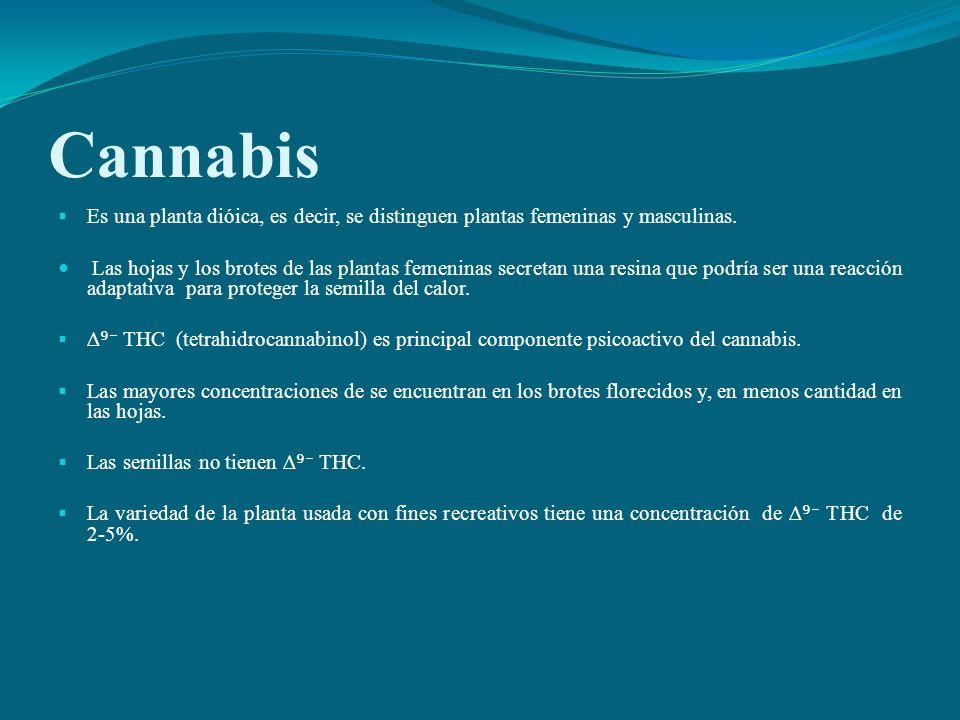 Cannabis Es una planta dióica, es decir, se distinguen plantas femeninas y masculinas.