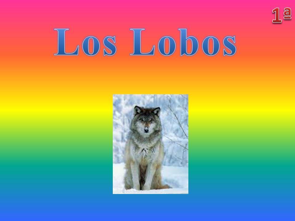1ª Los Lobos