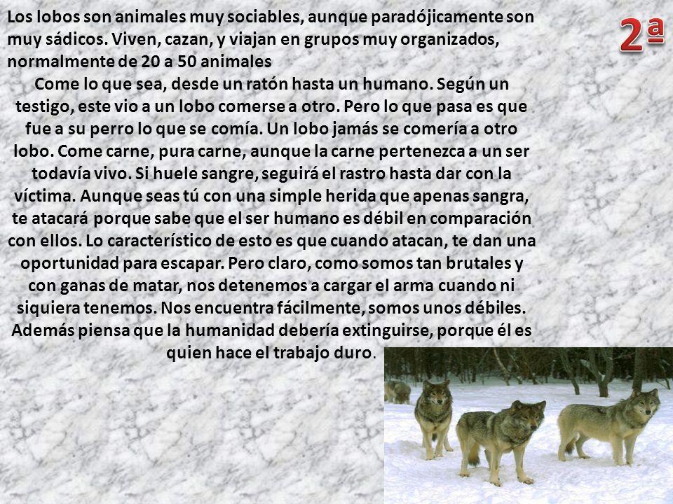 Los lobos son animales muy sociables, aunque paradójicamente son muy sádicos. Viven, cazan, y viajan en grupos muy organizados, normalmente de 20 a 50 animales
