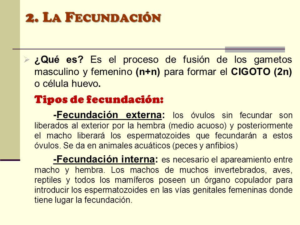 2. La Fecundación ¿Qué es Es el proceso de fusión de los gametos masculino y femenino (n+n) para formar el CIGOTO (2n) o célula huevo.