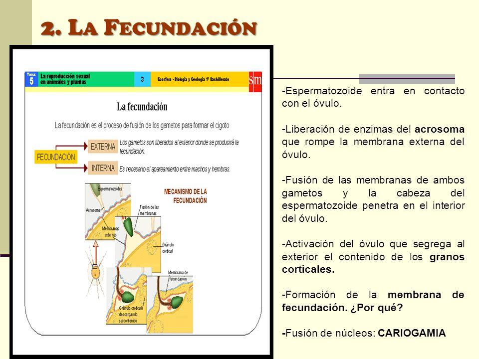 2. La Fecundación -Espermatozoide entra en contacto con el óvulo.