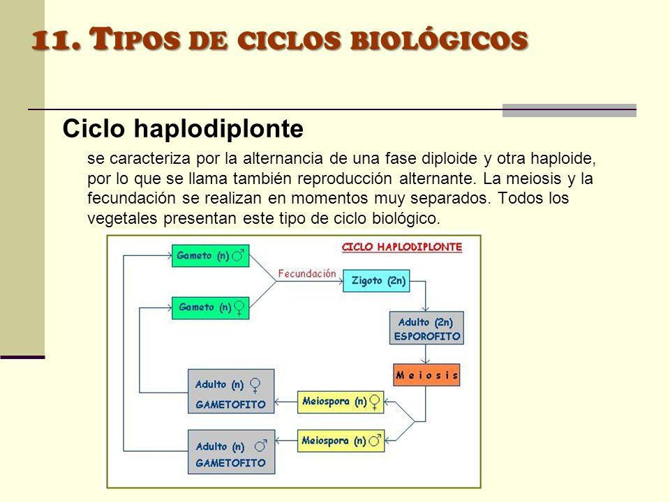 11. Tipos de ciclos biológicos