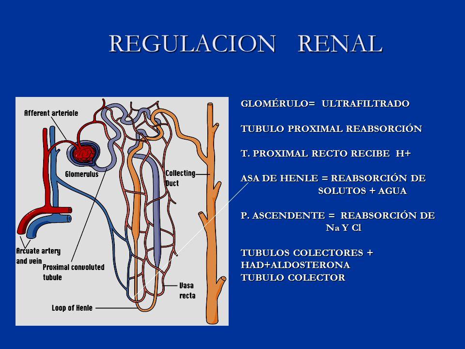 REGULACION RENAL GLOMÉRULO= ULTRAFILTRADO TUBULO PROXIMAL REABSORCIÓN