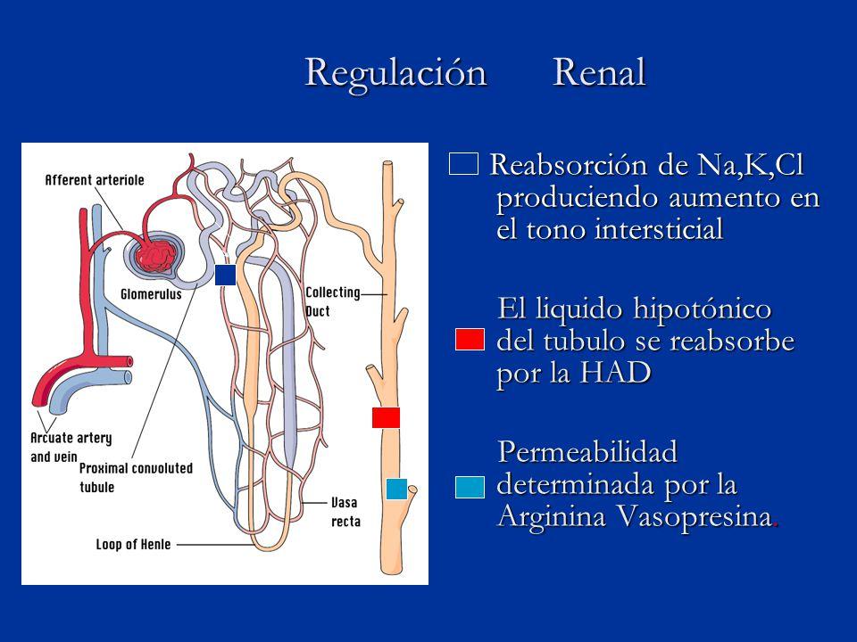 Regulación Renal Reabsorción de Na,K,Cl produciendo aumento en el tono intersticial. El liquido hipotónico del tubulo se reabsorbe por la HAD.