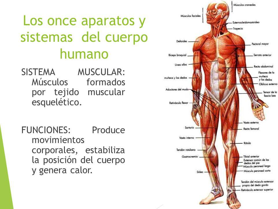 Asombroso Anatomía Músculo Esquelético Colección - Anatomía de Las ...