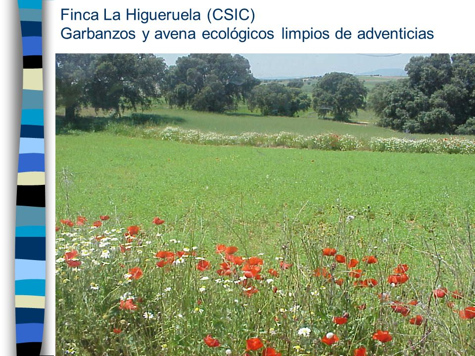 Finca La Higueruela (CSIC) Garbanzos y avena ecológicos limpios de adventicias