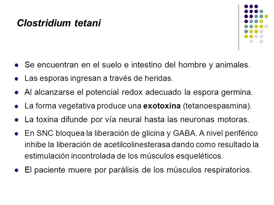 Clostridium tetani Se encuentran en el suelo e intestino del hombre y animales. Las esporas ingresan a través de heridas.