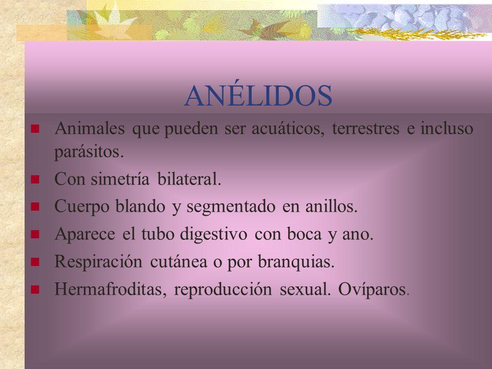 ANÉLIDOS Animales que pueden ser acuáticos, terrestres e incluso parásitos. Con simetría bilateral.