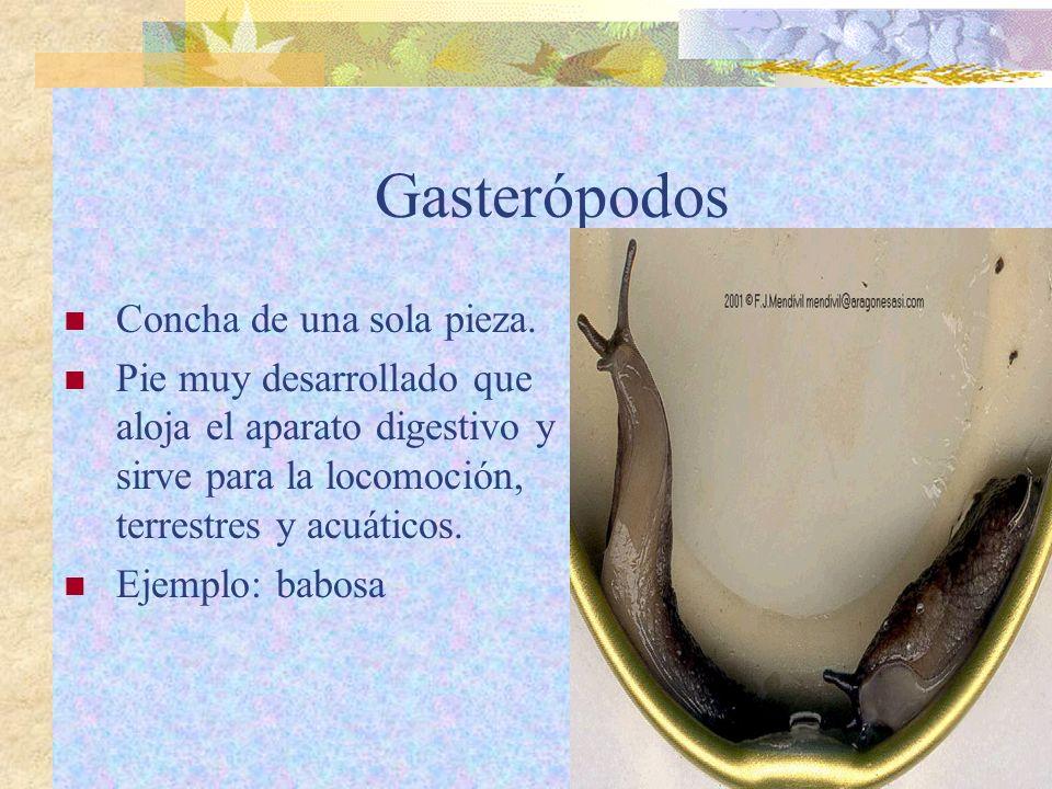 Gasterópodos Concha de una sola pieza.