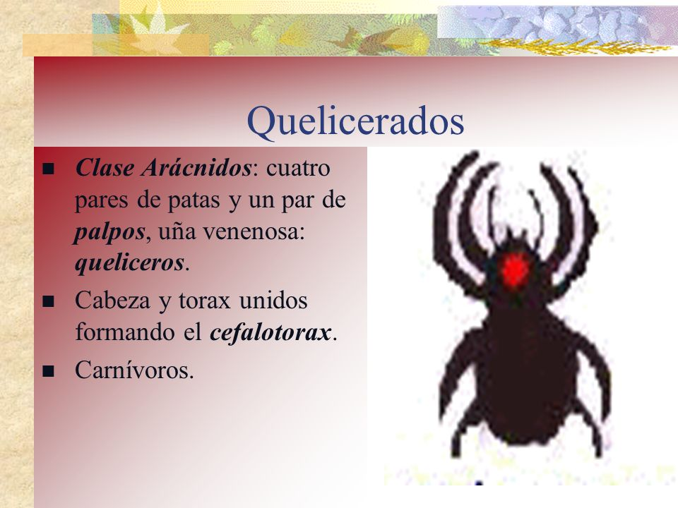 Quelicerados Clase Arácnidos: cuatro pares de patas y un par de palpos, uña venenosa: queliceros. Cabeza y torax unidos formando el cefalotorax.