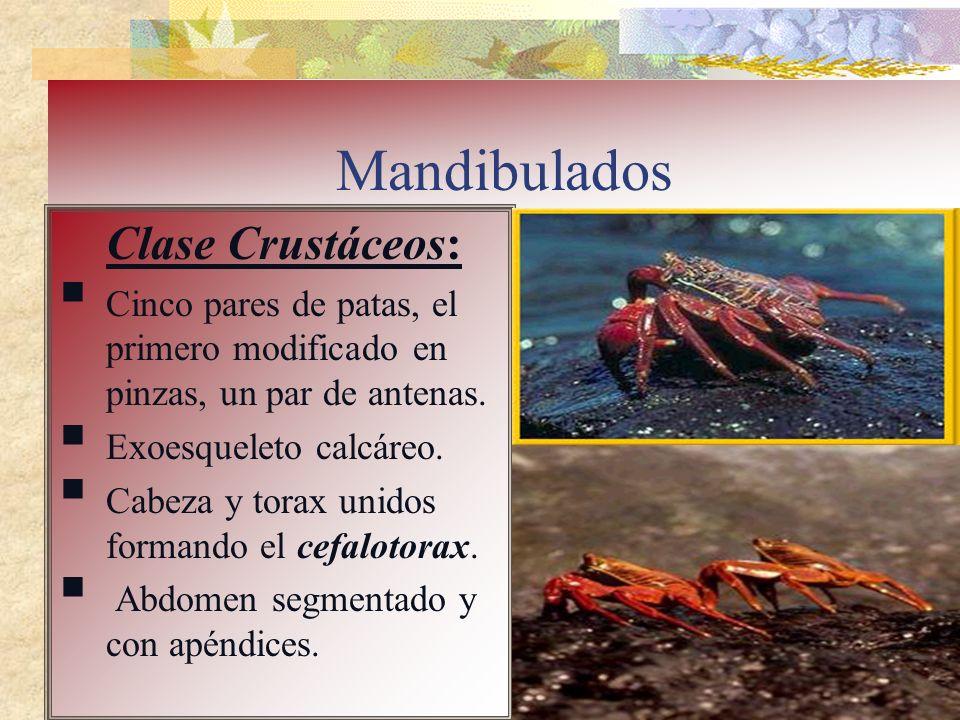 Mandibulados Clase Crustáceos: