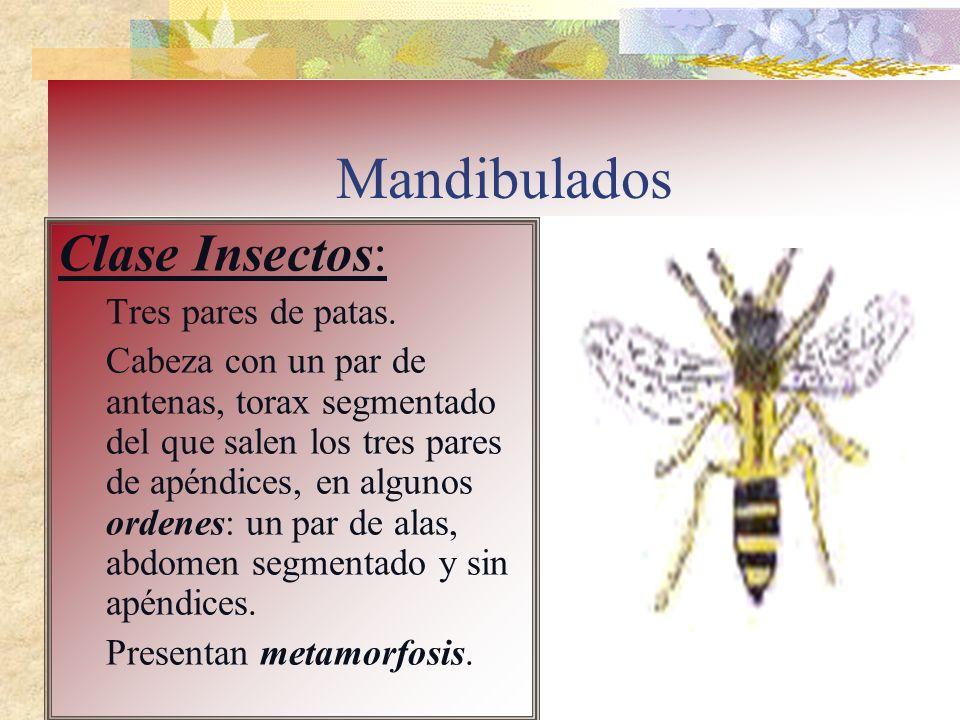 Mandibulados Clase Insectos: Tres pares de patas.