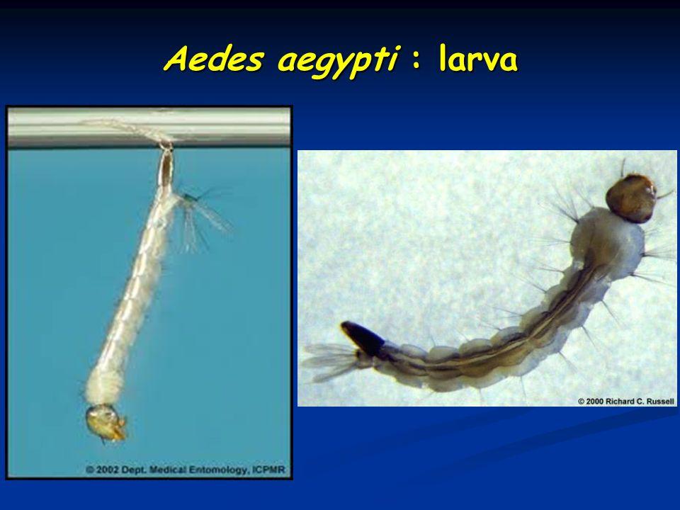 Aedes aegypti : larva